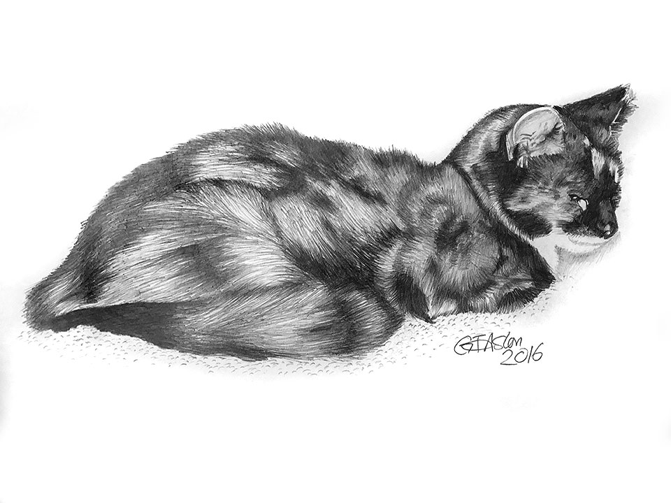 Tortoise Shell cat drawing