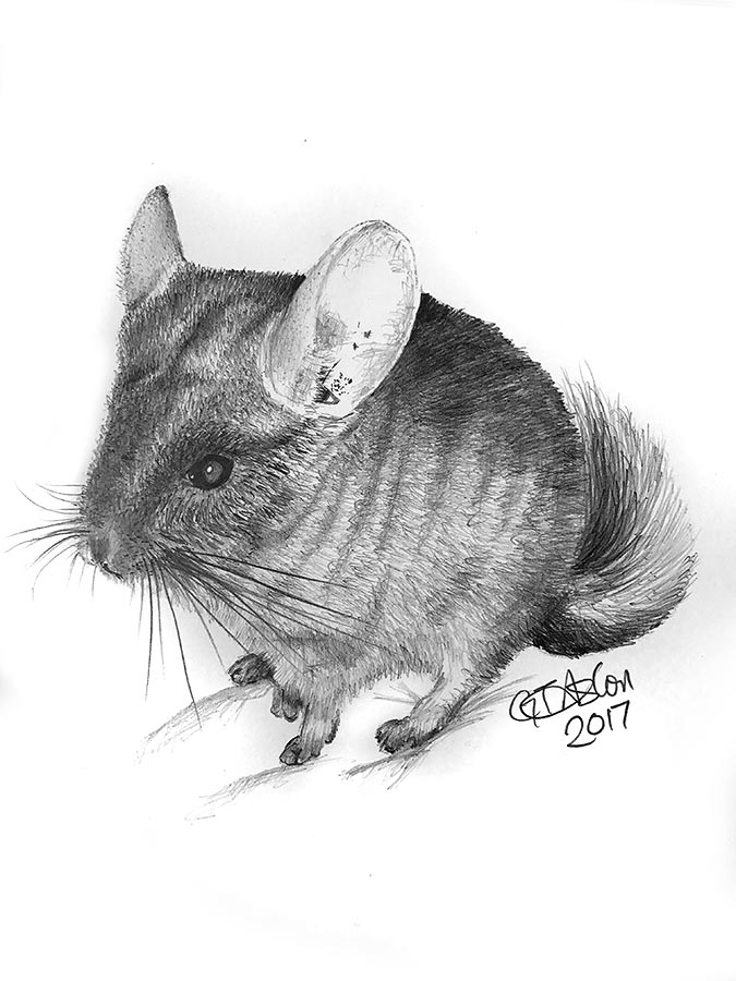chinchilla pencil portrait - Taz