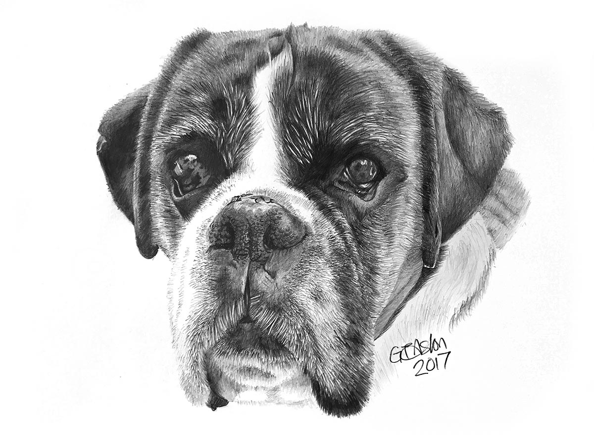 dog drawing boxer dog - Izzy