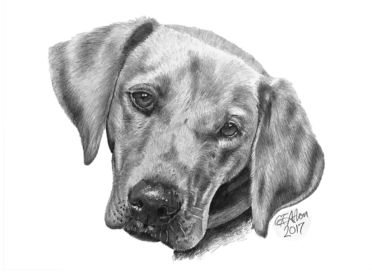 Pencil drawing of a labrador garrys pencil drawings