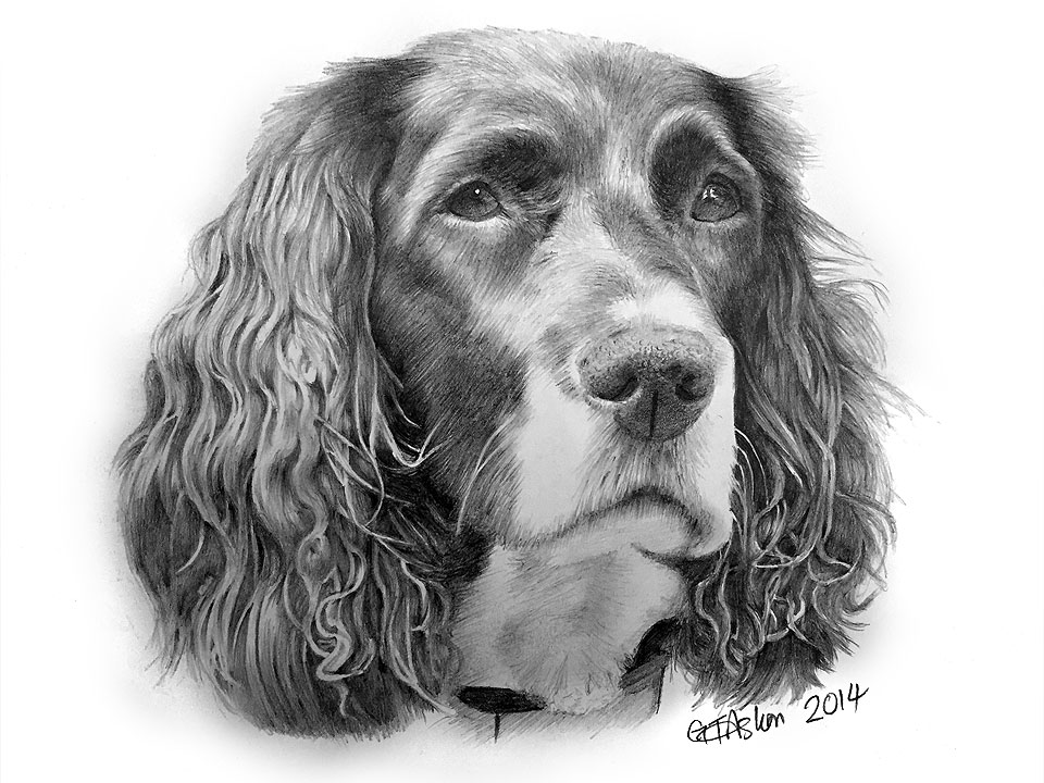 dog drawing springer spaniel