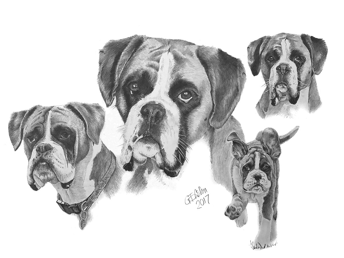Drawing Of Boxer Dogs As A Montage Garry S Pencil Drawings