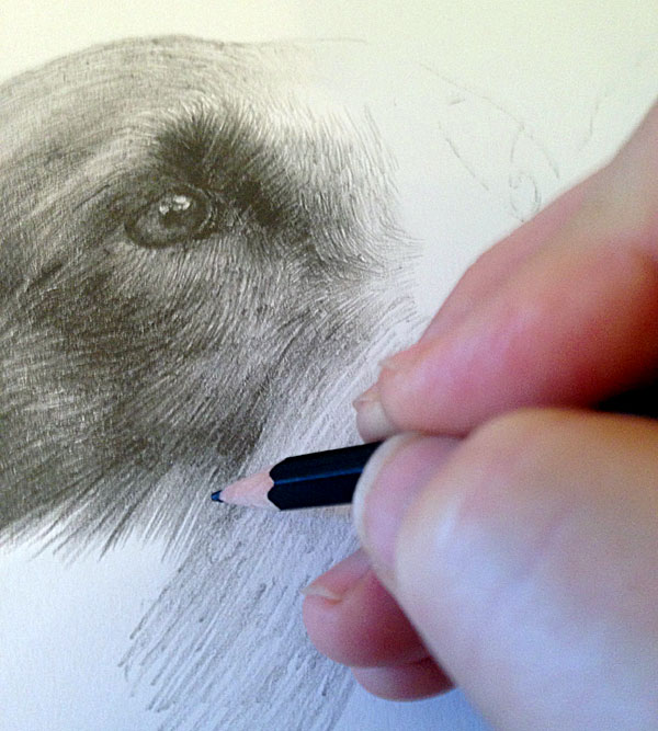 Black Labrador drawing in progress