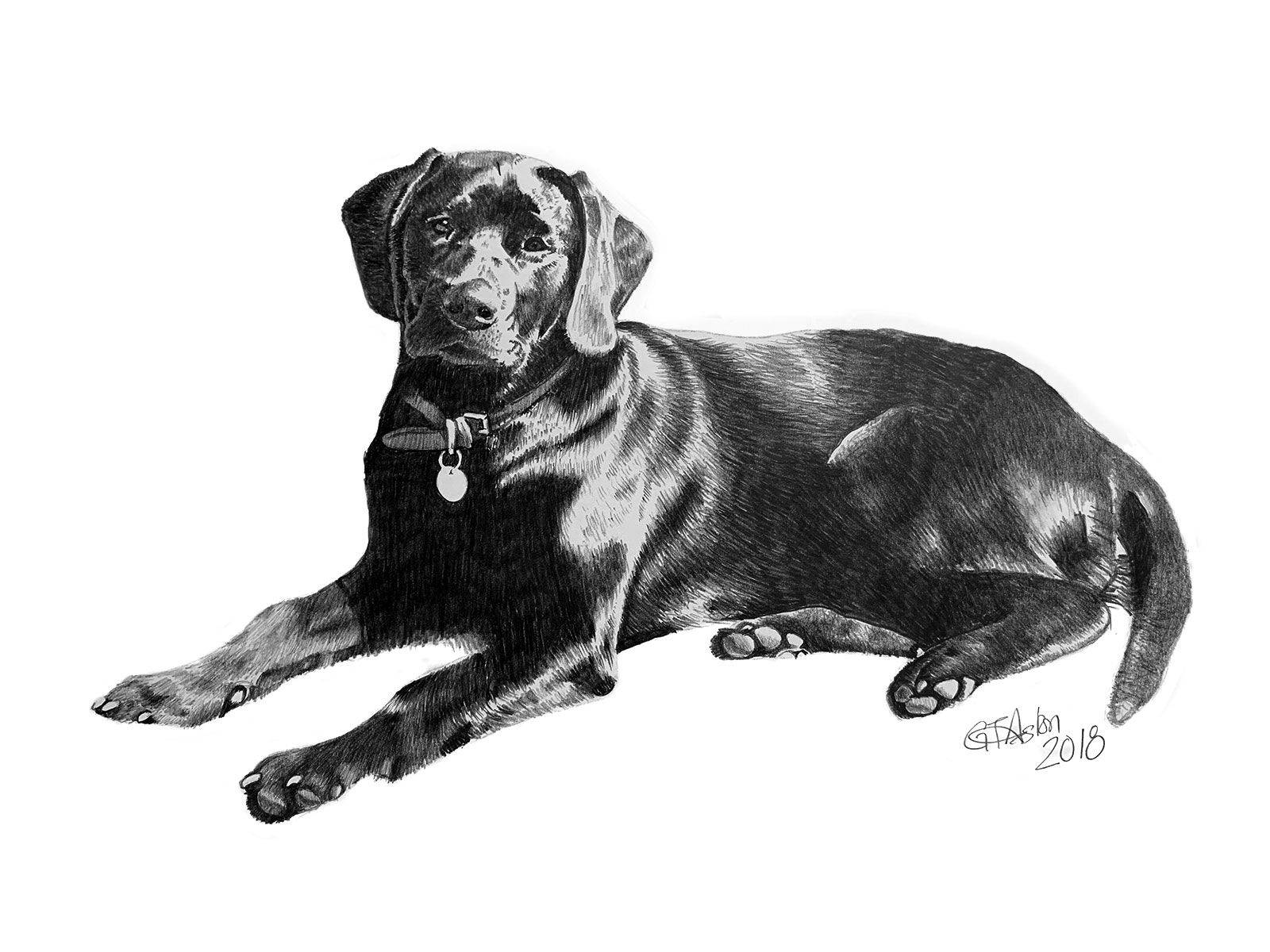 pencil portrait black labrador