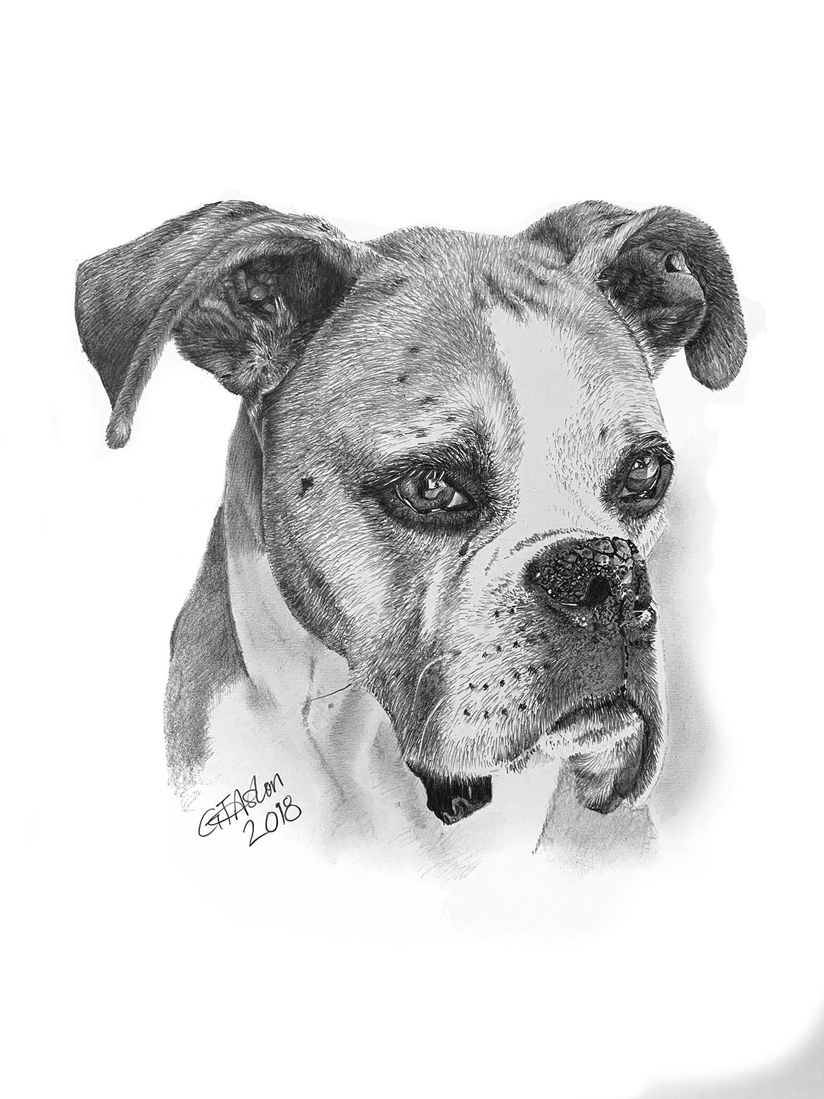pencil portrait boxer dog - duncan