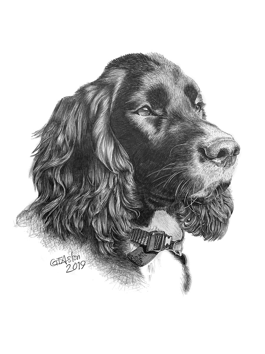Cocker Spaniel drawing - Buzz
